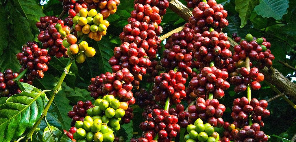 Hình ảnh thực tế cây cà phê Robusta