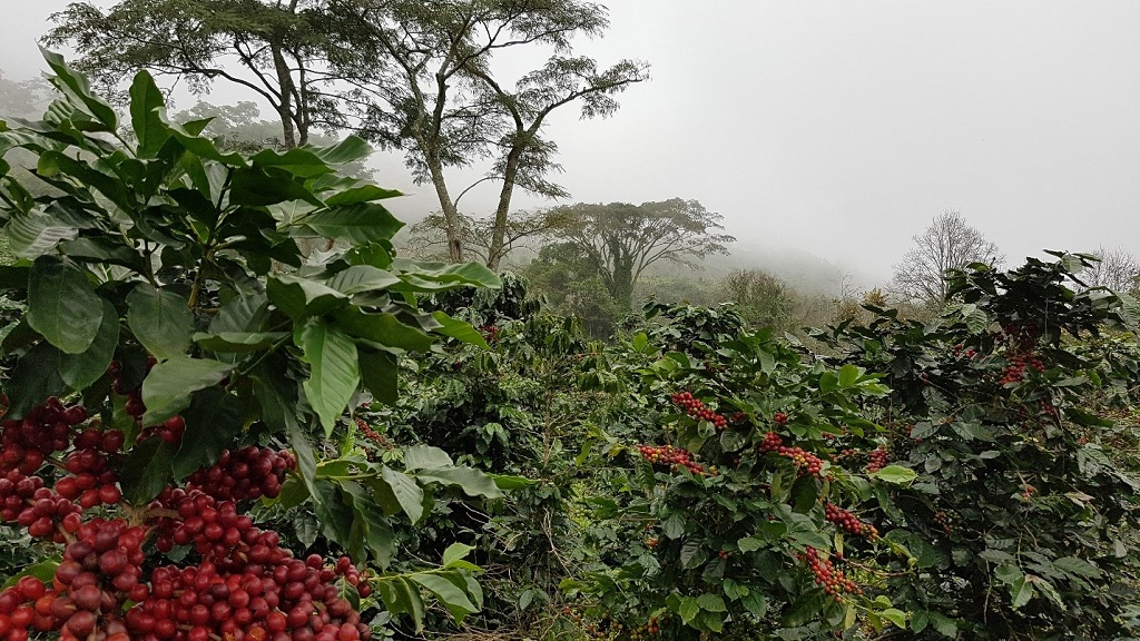 Hình ảnh thực tế cây Cà phê Arabica