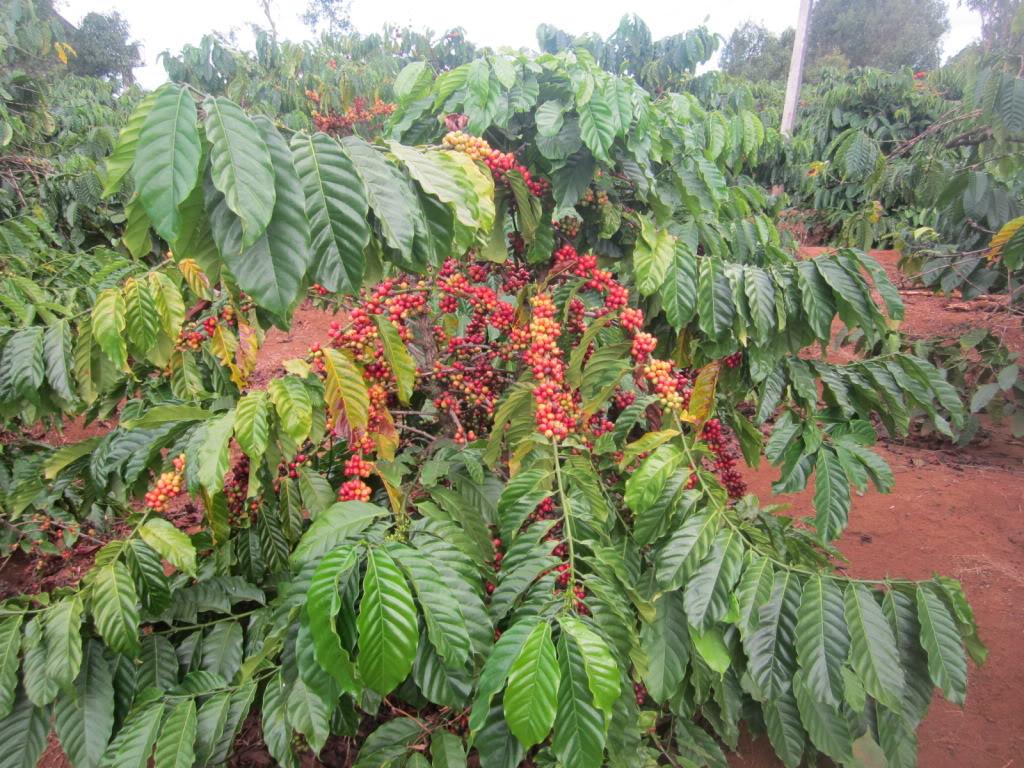Hình ảnh cây Cà phê Robusta