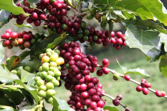 Hình ảnh cây Cà phê Moka