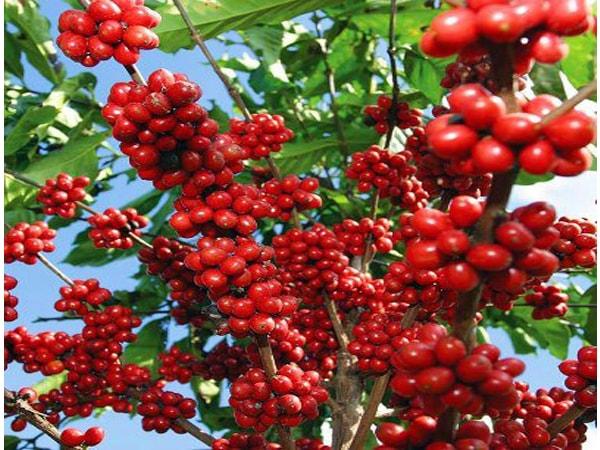 Hình ảnh cây Cà phê Culi