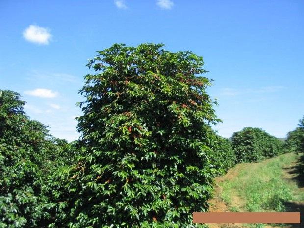 Hình ảnh cây Cà phê Cherry