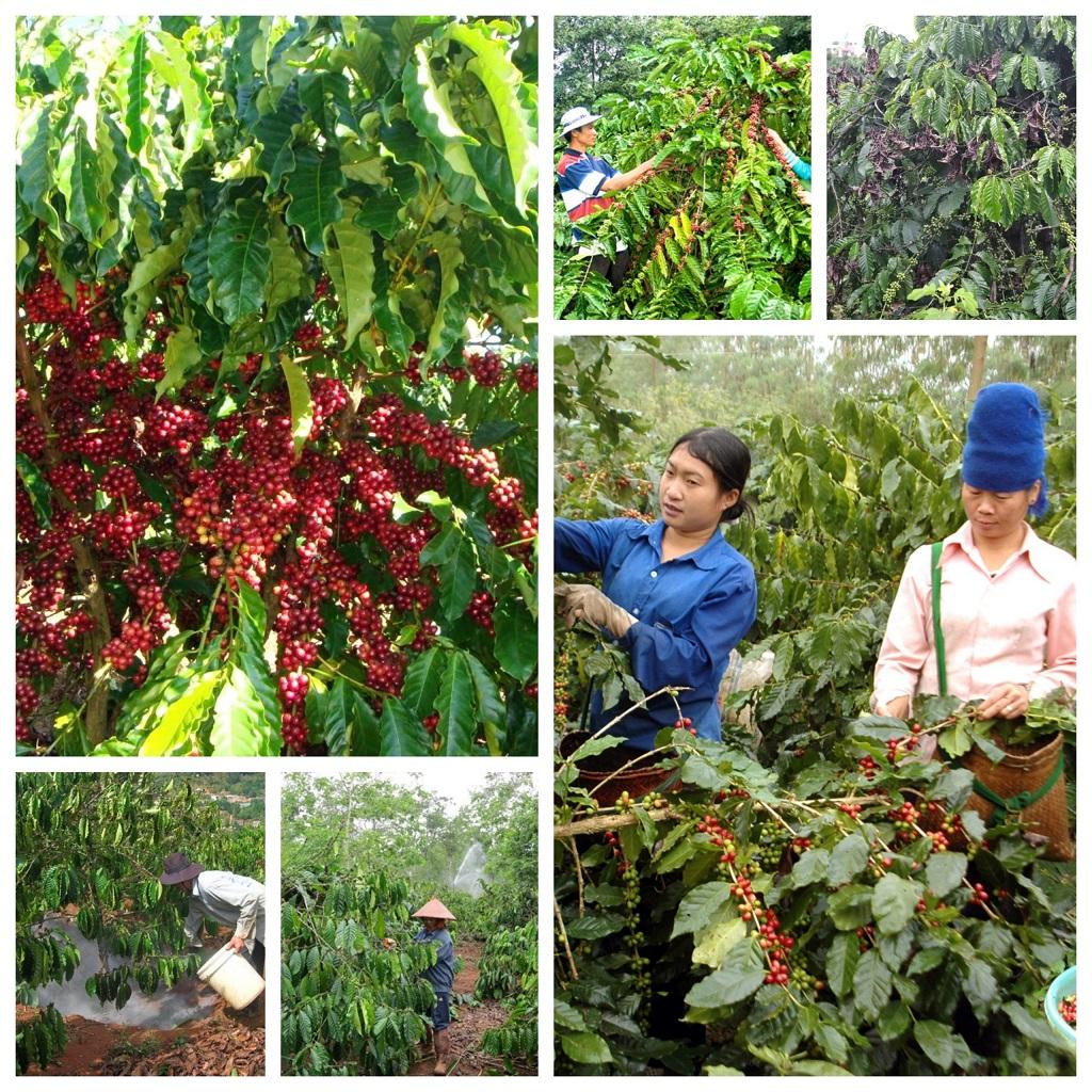 Quy Trình Sản Xuất Cà Phê : thu hoạch