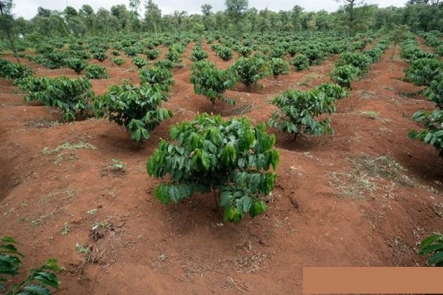 Quy trình trồng Cây Cà Phê